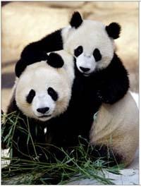Los Osos Panda, próximamente... en extinción!!!